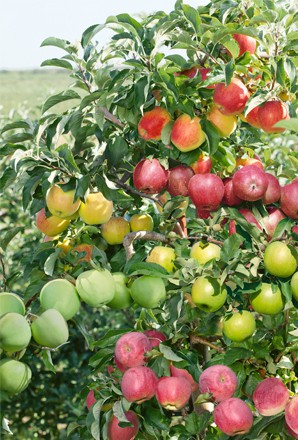 Apples 4 varieties